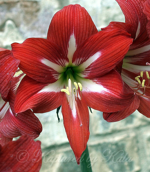 Red Amaryllis With a White Star