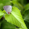 Little Silver Butterfly