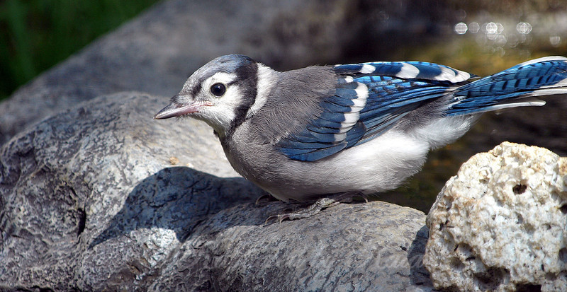 Baby Blue Jays Start Out With a Lot of Gray in Their Feathers