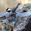 Carolina Chickadee Getting a Drink at the Fountain