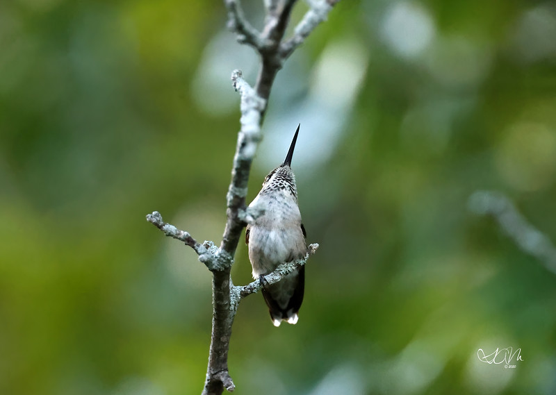 Hummingbird watching the competition