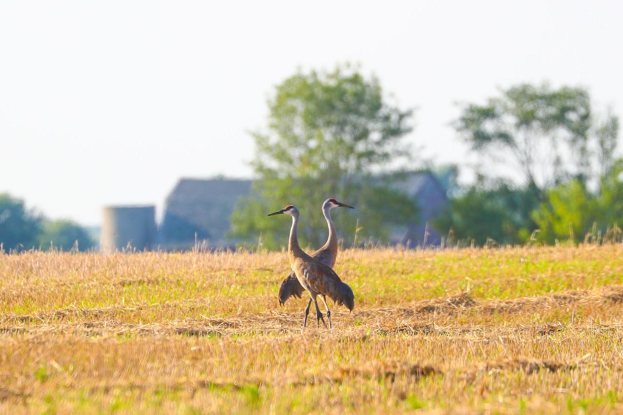 Sandhill Cranes<br /> Belgium, WI