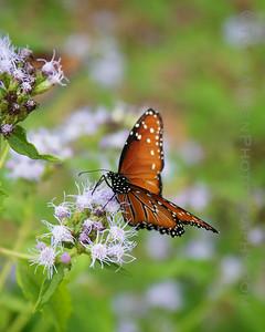 2010.11 Queen Butterflies 1
