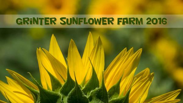 Grinter Sunflowers