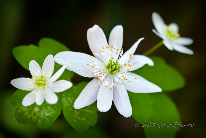 Rue Anemone, Greenbriar, Smokey Mountains National Park, Tennessee, 2008