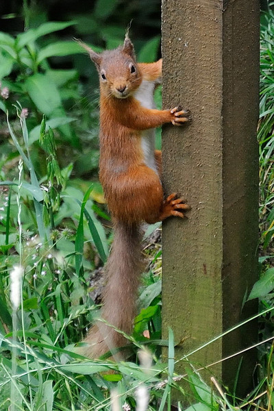 Red squirrel (Sciurus vulgaris), well developed ear tufts.