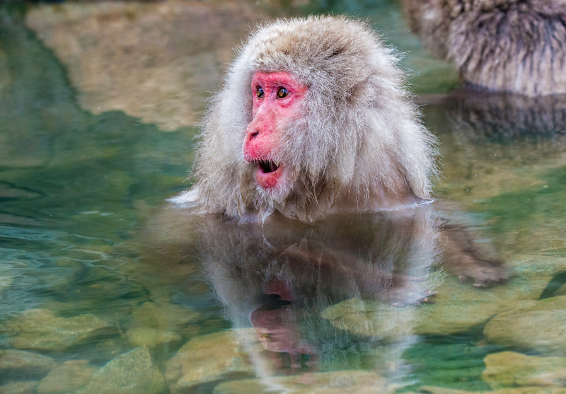 Japanese Macaque ( Snow Monkey )