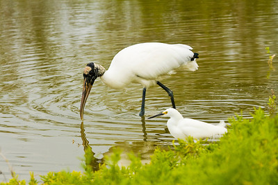 Wood Stork and Snowy Egret