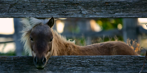 Wild Pony - A wild pony rescued from neglect. ~WIDE VIEW~