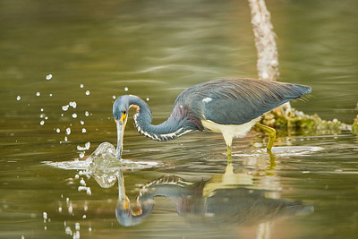 Tricolored Heron Strike at Estero Lagoon in Fort Myers
