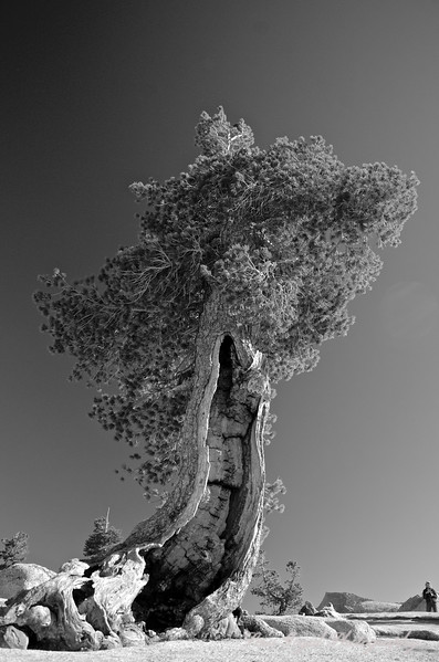 Giant Juniper BW