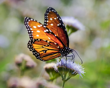 single Monarch Butterfly