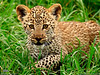 "National Goegraphic photo of the day 9 July 2010 <a href=""http://photography.nationalgeographic.com/photography/photo-of-the-day/leopard-cub-tanzania/"" target=""_blank"">http://photography.nationalgeographic.com/photography/photo-of-the-day/leopard-cub-tanzania</a>"