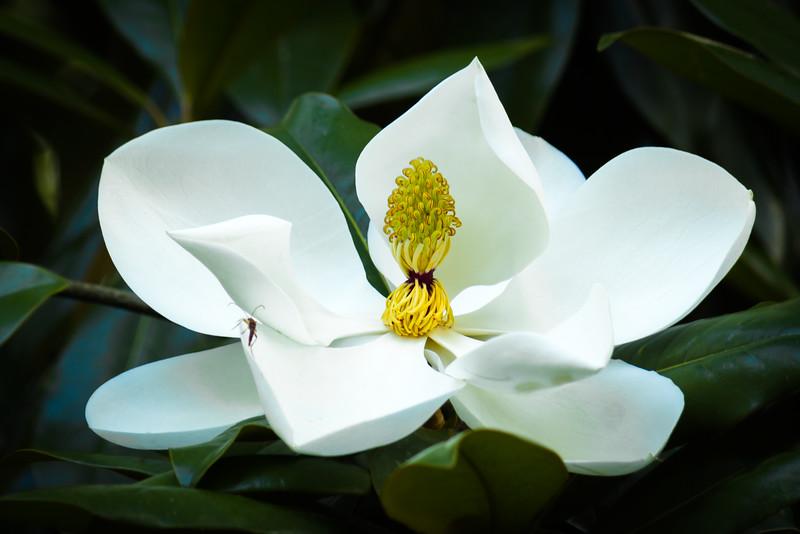 Magnolia with a Bonus Bug