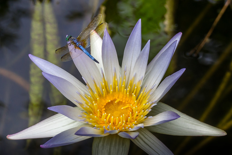 The Water Lilly and the Dragon Fly