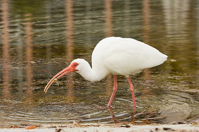 White Ibis Capturing Crab at Estero Lagoon in Fort Myers