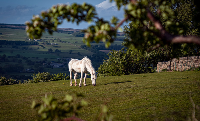 Beautiful White Horse at Cow and Calf, Ilkley Moor