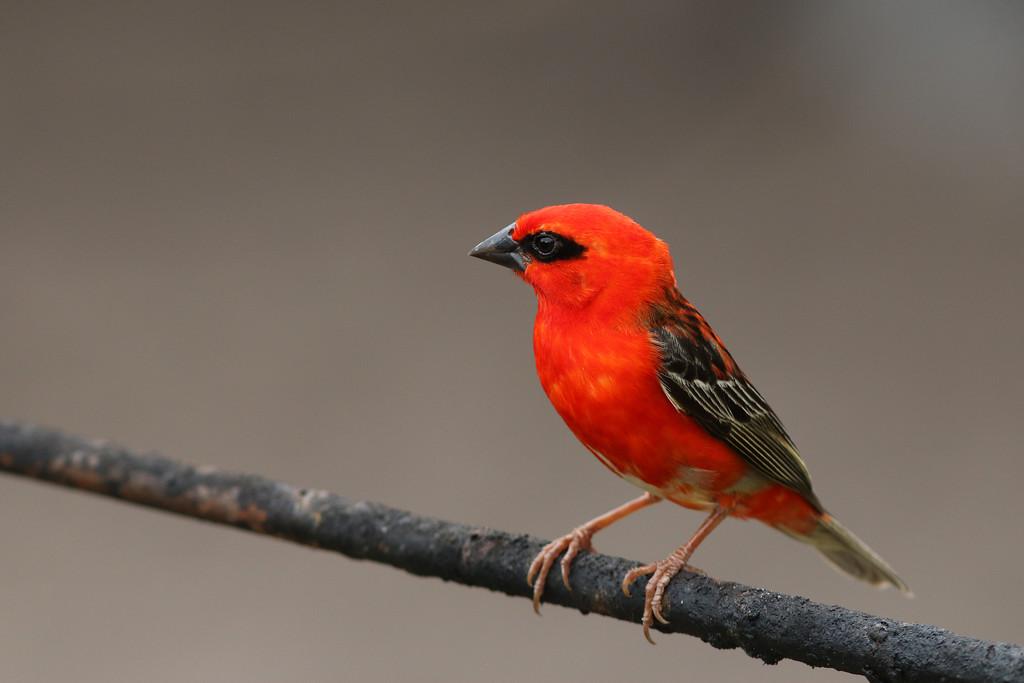Foudi rouge - <i>Foudia madagascariensis</i> - Red Fody
