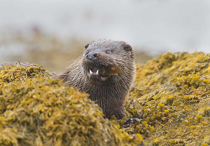 Otter, Loch Scridain, Mull