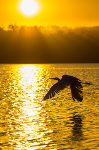 Egrets Sunset Flight
