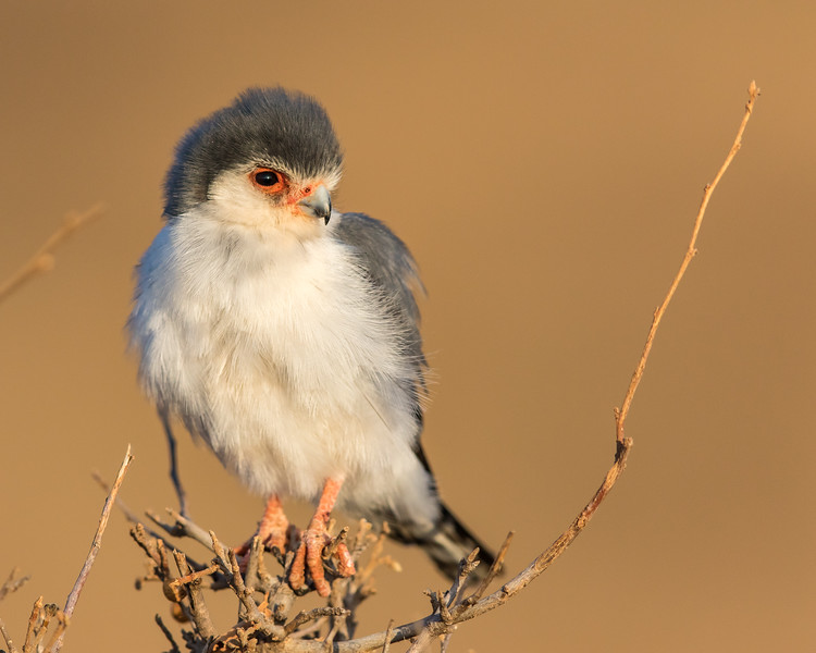 African Pigmy Falcon