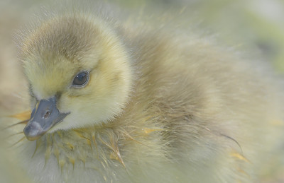 Day Old Baby Goose in Natal Down