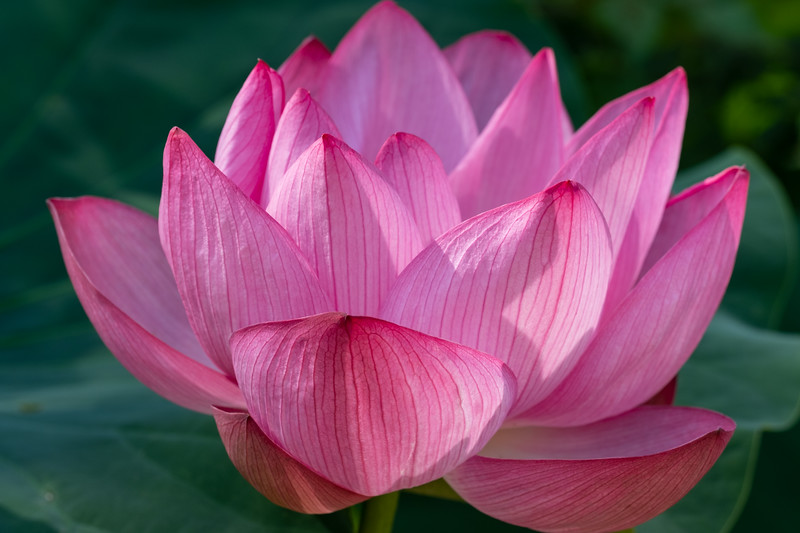 Lotus Blossom in Pink