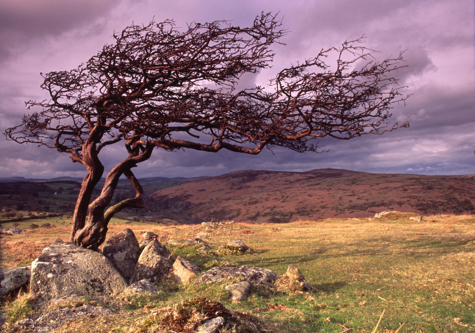 Lone tree at Combestone Tor, Dartmoor