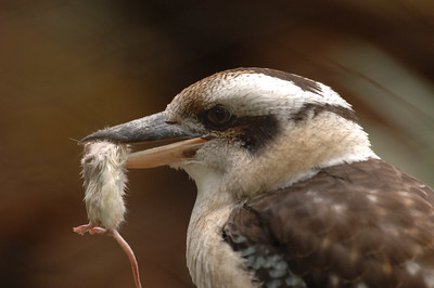 Laughing Kookaburra (Giant Kingfisher)