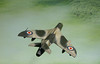 Hawker, Hunter