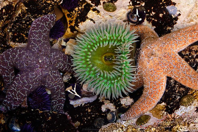Starfish at Montana De Oro State Park - CA IMG#9979
