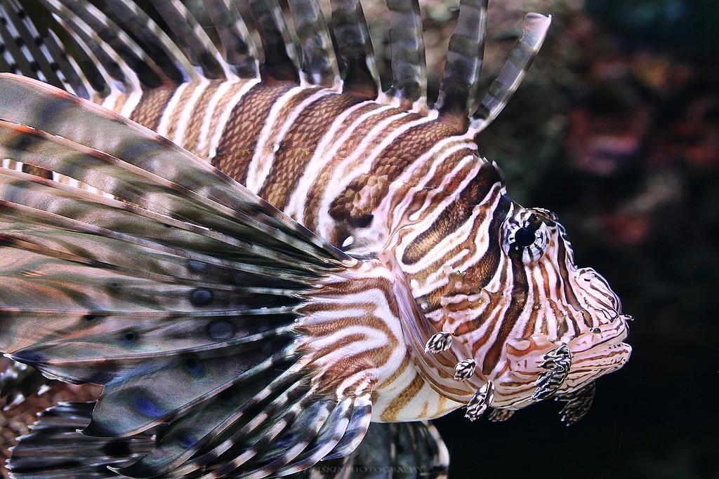 Lion Fish - IMG#0122