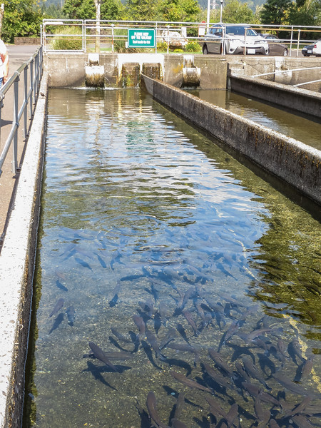 Fish Hatchery, Rainbox trout, Oncorhynchus mykiss