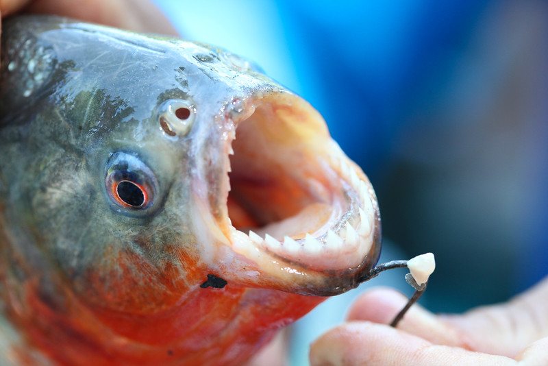 Red-bellied piranha, Pygocentrus nattereri