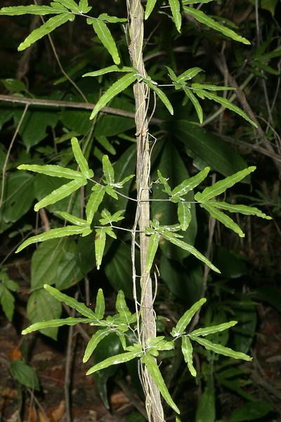 Wire Wis, Climbing fern, Lygodium sp.