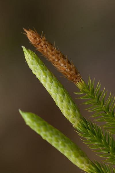 Lycopodium sp.