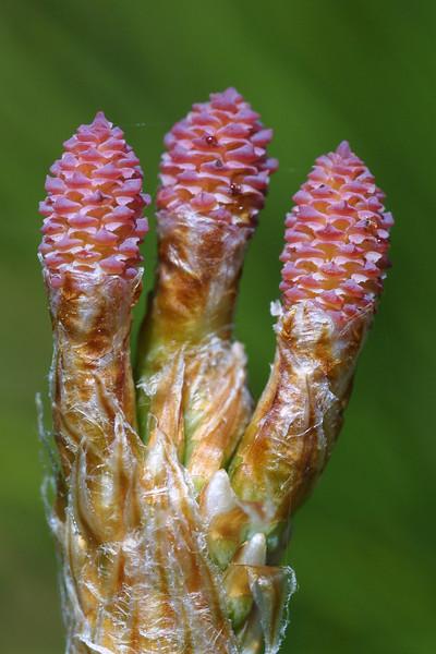Japanese Black Pine ovulate cones, Pinus thunbergi