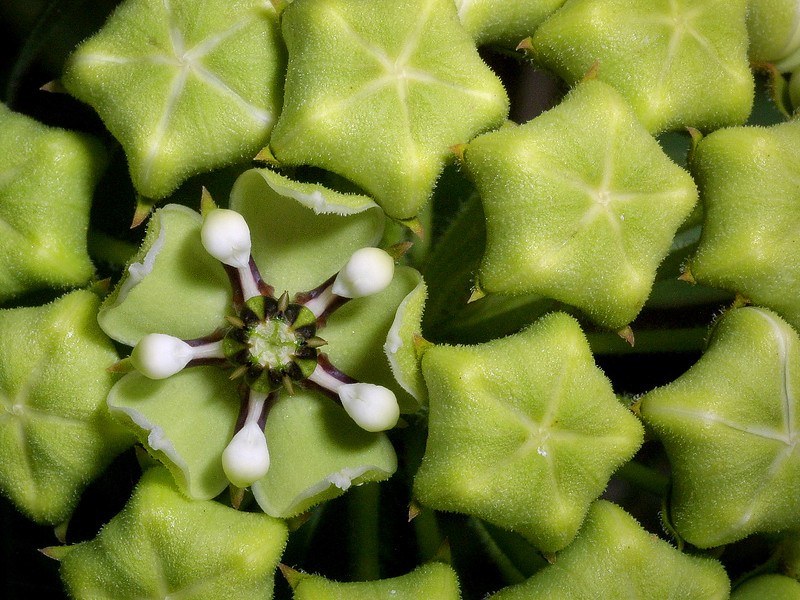 Milkweed,   Asclepias asperula