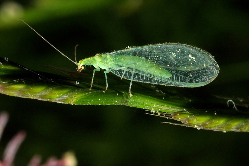 Green Lacewing, Chrysoperla sp.