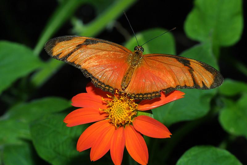 Bright Orange Julia, Dryas iulia