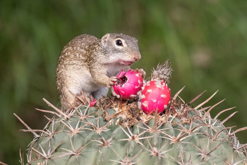 Mexican Ground Squirrel, Spermophilus mexicanus, on Horse crippler cactus, Echinocactus texensis