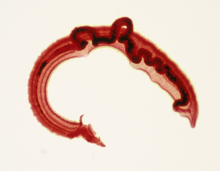 Blood fluke, Schistosoma sp.