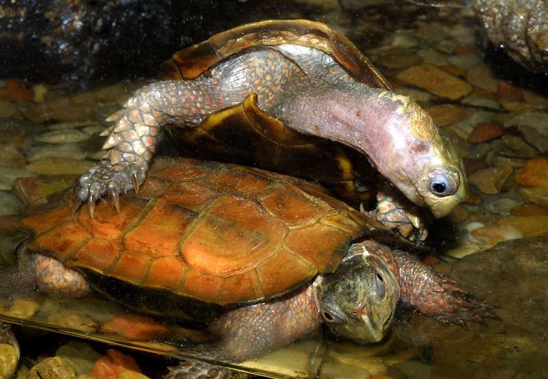 Indochinese serrated turtle,  Geoemyda spengleri