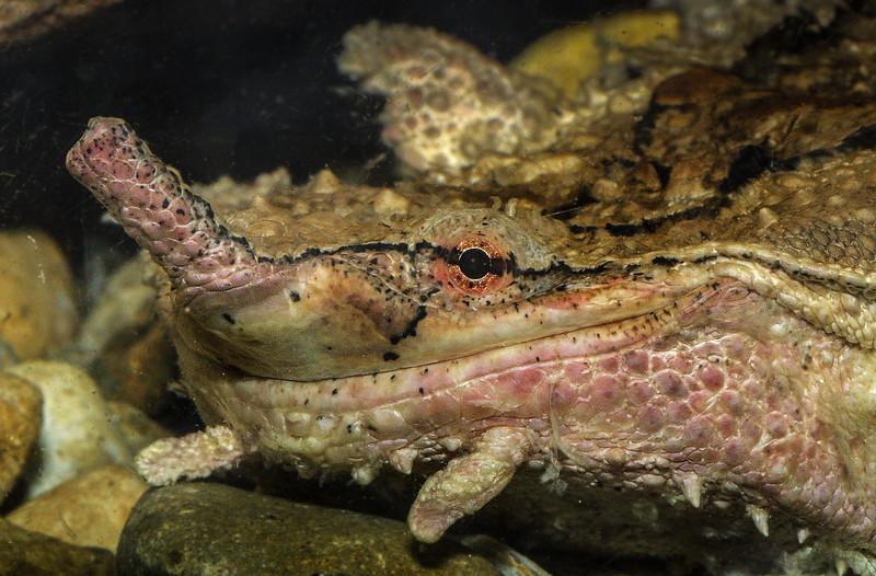 Mata mata turtle, Chelys fimbriata