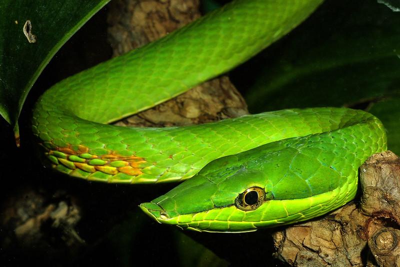Vine Snake, Oxybelis fulgidus