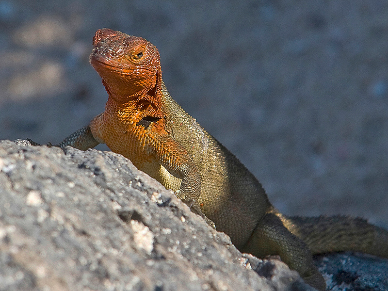 Galapagos Lava Lizard,  Microlophus sp.,  Espanola Island