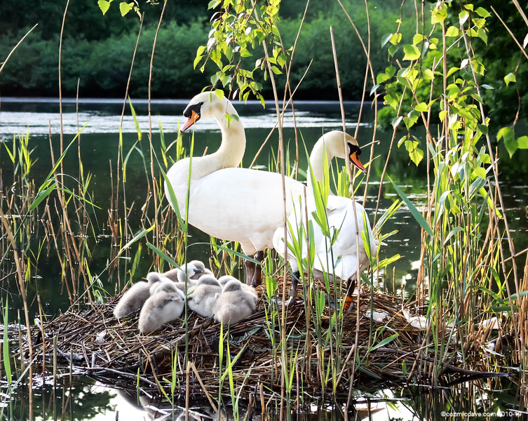 Swans and Cygnets at Cannop Ponds