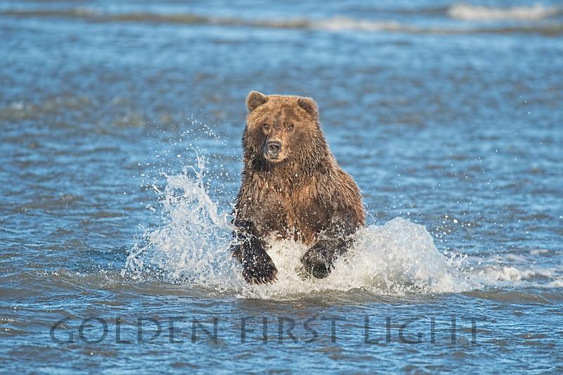 Brown Bear, Lake Clark