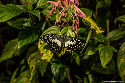 Swallowtail lemon butterfly (papilio demoleus)