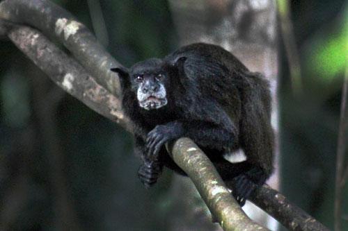 Black Tamarin (Bebe Leche) Monkey